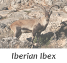 Iberian Ibex Stalks in Spain with Infocaza