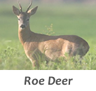 Stalks roe deers in Spain with Infocaza