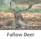 Fallow deer stalks in Spain with Infocaza