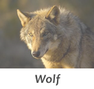Wolf stalks in Spain with Infocaza