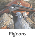 Hunt pigeons in Spain with Infocaza