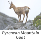 Pyrenean mountain goat stalks in Spain with Infocaza